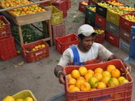 colhetas de laranjas alagoa nova foto antonio david (49)