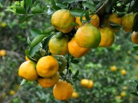 colhetas de laranjas alagoa nova foto antonio david 32 270x202 - Governo realiza ações para melhorar produçãode laranja na região de Matinhas