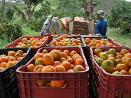 colhetas de laranjas alagoa nova foto antonio david (7)