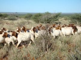 emepa caprinos (2)