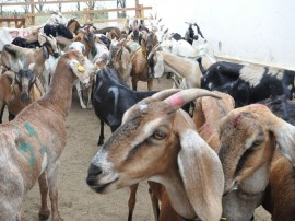 inseminaçao de ovino e caprino foto joao francisco secom pb (38)