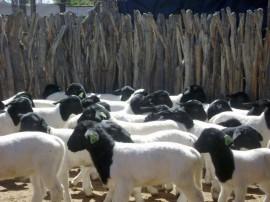 caprinocultura melhoramento genetico de cabras (1)