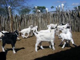 caprinocultura melhoramento genetico de cabras (3)