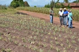 plantacao de abacaxi sao miguel de taipu foto antonio david 13