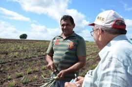 plantacao de abacaxi sao miguel de taipu foto antonio david 16