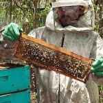 apicultura mel abelha (2)