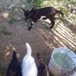 caprinocultura cabrino sao miguel do sabigi 10