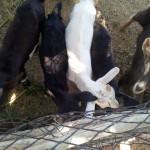 caprinocultura cabrino sao miguel do sabigi 11