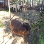 caprinocultura cabrino sao miguel do sabigi 12