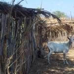 caprinocultura cabrino sao miguel do sabigi 13