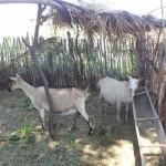 caprinocultura cabrino sao miguel do sabigi 14