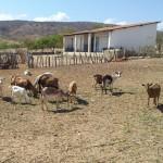 caprinocultura cabrino sao miguel do sabigi 15