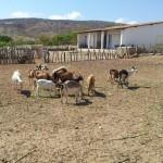 caprinocultura cabrino sao miguel do sabigi 16