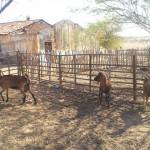 caprinocultura cabrino sao miguel do sabigi 2