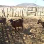 caprinocultura cabrino sao miguel do sabigi 3