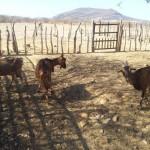 caprinocultura cabrino sao miguel do sabigi 4