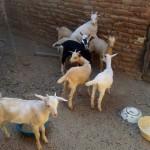 caprinocultura cabrino sao miguel do sabigi 5