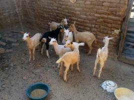 caprinocultura cabrino sao miguel do sabigi 6
