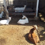 caprinocultura cabrino sao miguel do sabigi 7