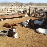 caprinocultura cabrino sao miguel do sabigi 8