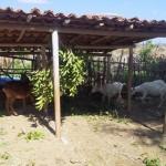 caprinocultura cabrino sao miguel do sabigi 9