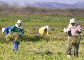 Plantacao de arroz preto na Varzeas de Sousa  Foto Antonio David (6)