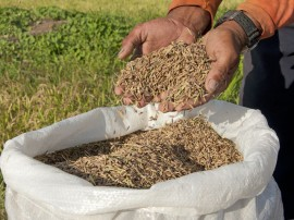 arroz cooperar  Foto Antonio David