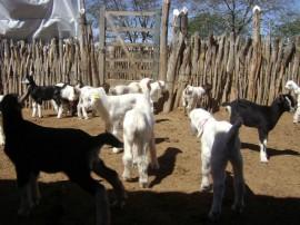 caprinocultura melhoramento genetico de cabras (2)