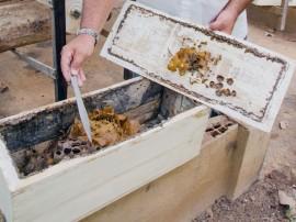 emater em areia abelha urucu foto antonio david (3)