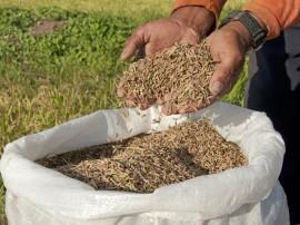 Plantacao de arroz vermelho Foto Antonio David (1)
