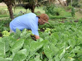 emater agricultura familiar cultivo de mandioca pnae (1)