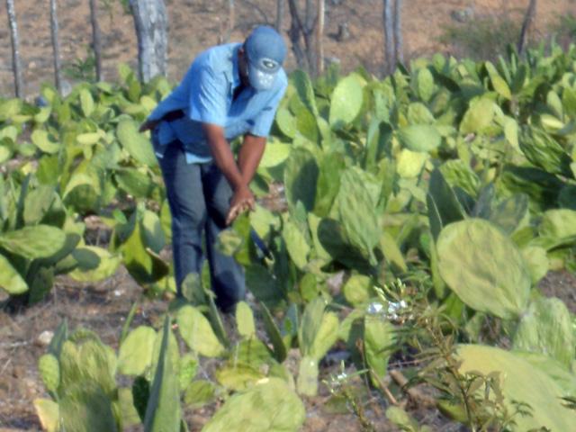 emater palma e racao animal 12 - Agricultores destacam importância de palma distribuída pelo Governo