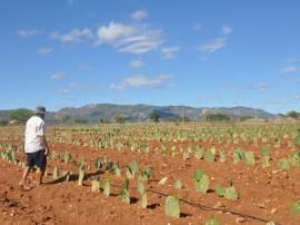 emater agricultor testa no sertao palama resistente a cochonilha plantio de raquetes 270x202 - Agricultor cultiva palma resistente à cochonilha no Sertão
