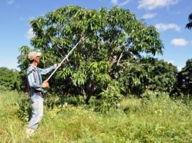 emater plantacao de manga organica em pianco 1 270x202 - Governo do Estado orienta produção de manga orgânica em Piancó