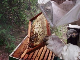 emater apoio a apicultura Mel em sao jose dos cordeiros Fotos Robison 3 270x202 - Emater distribui mudas de frutíferas para atrair abelhas e repovoar colmeias