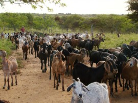 emepa caprinos 270x202 - Governo incentiva caprinocultura leiteira no Sertão do Estado