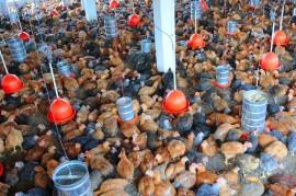 GUARABIRA CABOCLO ALIMENTOS 15 portal 270x179 - Ricardo inaugura aviário e beneficia 21 famílias da zona rural