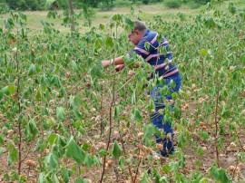 emater colheita de algodao colorido 2 270x202 - Agricultores começam colheita de algodão colorido em assentamento