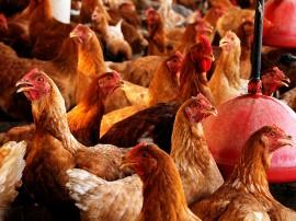 Orcamento democratico MONTEIRO AVICULTURA foto jose marques 2 270x202 - Com apoio do Governo, avicultura alternativa gera emprego e renda na zona rural