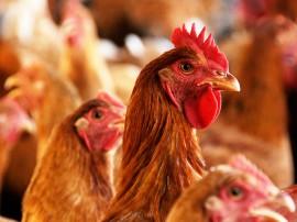 Orcamento democratico MONTEIRO AVICULTURA foto jose marques 3 270x202 - Com apoio do Governo, avicultura alternativa gera emprego e renda na zona rural