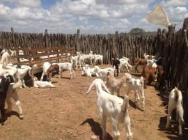 11.02.14 EMEPA produção de caprinos e ovinos 270x201 - Governo investe em pesquisa para desenvolver sistema de produção de caprinos e ovinos