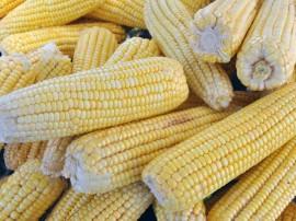 espiga de milho 21 270x202 - Governo inicia distribuição de sementes no Sertão