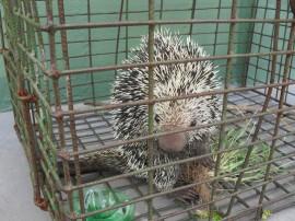 policia ambiental recupera 645 animais silvestres em operacao 1 270x202 - Polícia ambiental apreendeu 645 animais silvestres no 1º bimestre
