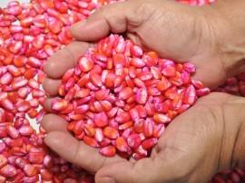 semente milho foto joao francisco 7 270x202 - Governo distribui 680 toneladas de sementes para agricultores familiares