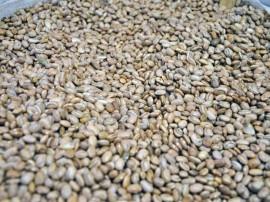 sementes de feijao foto antonio david 6 270x202 - Agricultores do Vale do Piancó recebem sementes do Governo do Estado