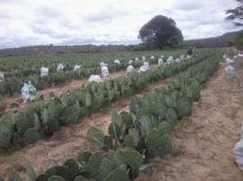 14.05.14 programa producao palma forrageira 4 270x202 - Estado tem apoio do Insa em programa de produção de palma forrageira