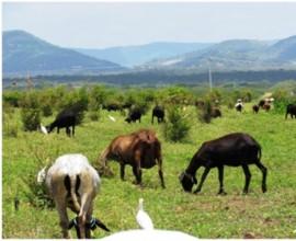 Producao de Ovinos Organicos 270x220 - Emepa apoia melhoria da produção de carne de cordeiro orgânica