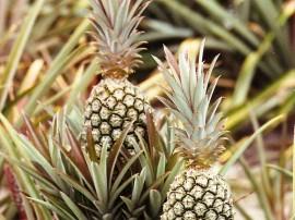 abacaxi 270x202 - Produtores da Paraíba investem na produção de abacaxi mesmo no período de estiagem