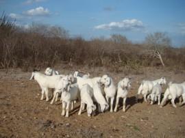 leilão soledade 270x202 - Governo realiza leilão de caprinos e ovinos em Julho