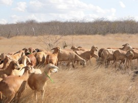Fotos Santa Inês Campo 061 270x202 - Emepa investe em pesquisa com ovinos Santa Inês para desenvolver a ovinocultura de corte